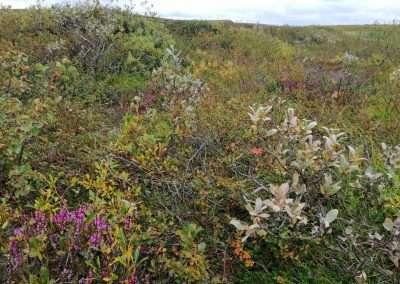 Arctic flowers, Iceland